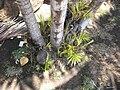 Starr 060922-9132 Chrysalidocarpus lutescens.jpg