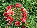 Starr 061111-1571 Caesalpinia pulcherrima.jpg