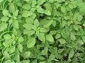 Starr 061114-9876 Amaranthus spinosus.jpg