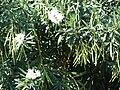 Starr 070124-3827 Nerium oleander.jpg