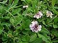 Starr 070815-8046 Phyla nodiflora.jpg
