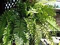 Starr 070906-8387 Nephrolepis sp..jpg