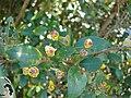 Starr 080304-3224 Myrtus communis.jpg
