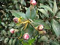 Starr 080326-3710 Myrtus communis.jpg