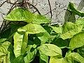 Starr 080531-4839 Syngonium podophyllum.jpg
