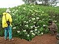 Starr 081230-0095 Montanoa hibiscifolia.jpg