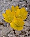Sternbergia clusiana 9.JPG