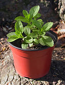 Stevia rebaudiana (potted plant)