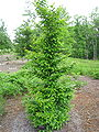 Stewartia monadelpha - North Carolina Arboretum.JPG