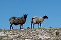 Stora Karlso sheep.jpg