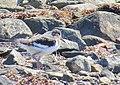Strandskata Oystercatcher (14519414284).jpg