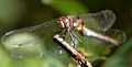 Strange Ones - Migrant Hawker (female) (by).jpg