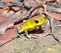 Strawberry poison-dart frog (Oophaga pumilio or Dendrobates pumilio) (9442362547).jpg