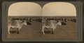Straying herds of the great west--a cattle range in Montana, U.S.A, by Keystone View Company.png