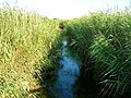 Stream through the Reedbeds - geograph.org.uk - 523413.jpg