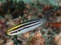 Striped fangblenny (Meiacanthus grammistes) (46842559335).jpg