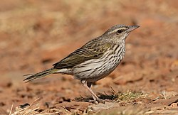 Striped pipit, Anthus lineiventris, at Walter Sisulu National Botanical Garden, Gauteng, South Africa (29369529542).jpg