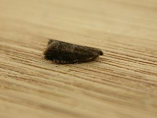 <i>Strophedra</i> Genus of tortrix moths