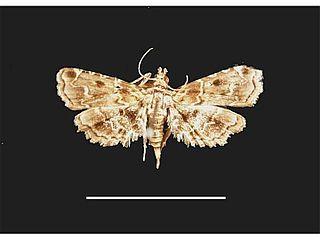 <i>Sufetula hemiophthalma</i> Species of moth