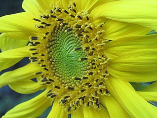 Sunflower3-2012.jpg