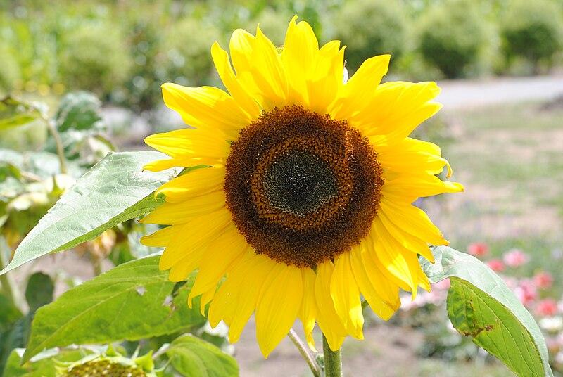 படிமம்:SunflowerNZ20100110.JPG