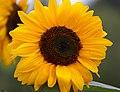 Sunflower 2 (6086040299).jpg