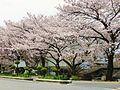Susuki River cherry trees.jpg