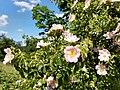 Sweetbriar rose, Rauenthal.jpg