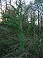 Sycamore and epiphytic ferns.JPG