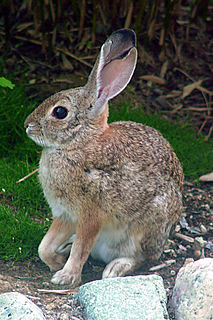 Desert cottontail species of mammal