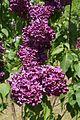 Syringa 'Indiya' in Minsk botanical garden 01.jpg