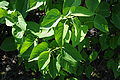 Syringa vulgaris 'President Lincoln' leaves.jpg