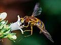 Syrphidae hoverfly feeding, Matutu MG 02.jpg