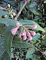 Syzygium Munronii 05.JPG
