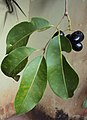 Syzygium cumini 07.JPG