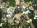 Syzygium moorei fruit1.JPG