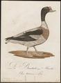 Tadorna cornuta - 1800-1812 - Print - Iconographia Zoologica - Special Collections University of Amsterdam - UBA01 IZ17600281.tif