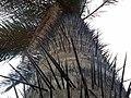 Tallo de Acrocomia aculeata.jpg