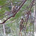 Tarrafal-Singes verts (2).jpg
