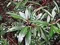 Tasmannia lanceolata.jpg
