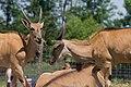 Taurotragus oryx (eland).jpg