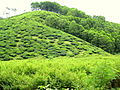 Tea Plantation near Vandiperiyar.JPG