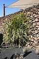 Teguise Guatiza - Jardin - Euphorbia heterochroma 03 ies.jpg