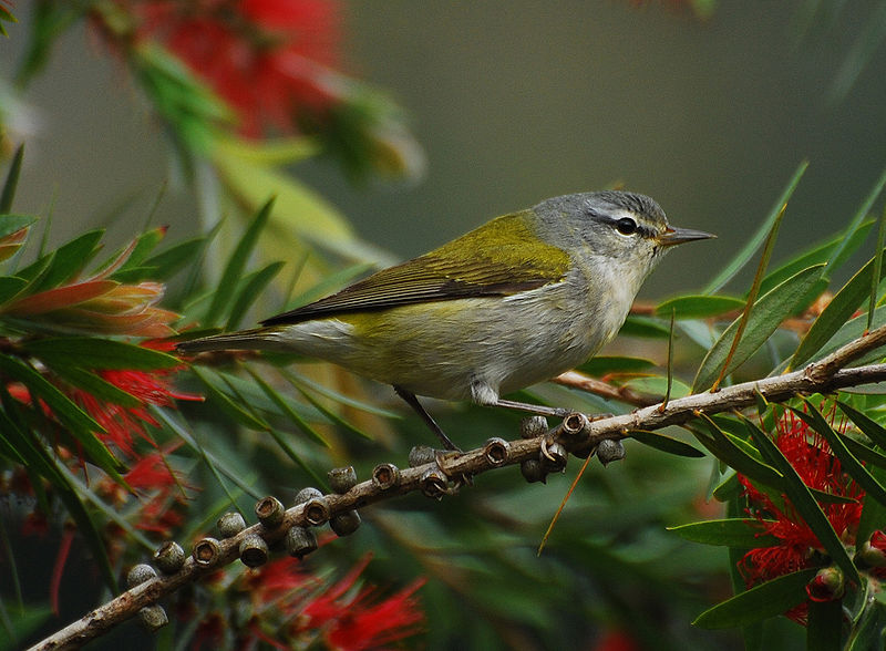 Tennessee Warbler (Vermivora peregrina) at Savegre Lodge, Costa Rica