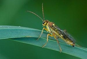 Tenthredinidae - Female Tenthredopsis sordida