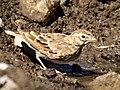 Terrera Marismeña, Calandrella rufescens (5824832901) (cropped).jpg