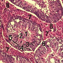 Histological section through testicular parenchyma of a boar.1 Lumen of Tubulus seminiferus contortus2 spermatids3 spermatocytes4 spermatogonia5 Sertoli cell6 Myofibroblasts7 خلية بينيةs8 capillaries