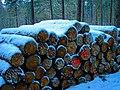 Texel - De Dennen - Heidvlakweg - The last Forest-Thinning was in 1992.jpg