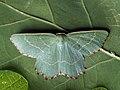 Thalera fimbrialis - Sussex emerald - Тупоугольная пяденица зелёная (42885684475).jpg