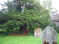 The Ancient Yew - geograph.org.uk - 236613.jpg